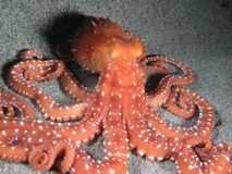 Octopus Macropus Stock Photos