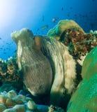 Octopus maldives. Maldives   2015 by walter schmit Royalty Free Stock Image
