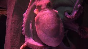 An octopus marine life. Fish and marine life underwater stock footage