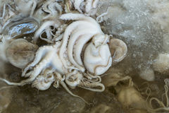 Octopus on market in Indonesia. Small octopus on market in Indonesia Stock Photos