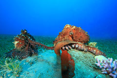 Octopus mating Royalty Free Stock Photos