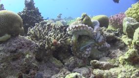 Octopus are mating - the male is on the back and the female - in front. stock footage