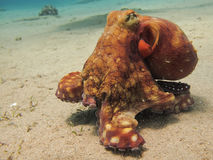 Octopus on the move. Octopus moving over the sand bottom of the sea Stock Photography