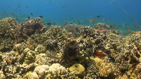 Octopus moves over a coral reef. Octopus moves over a colorful coral reef stock video