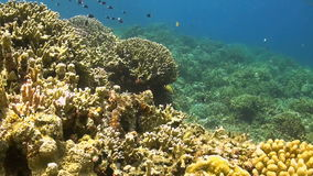 Octopus moves over a coral reef. Octopus moves over a colorful coral reef stock footage