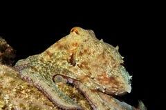 Octopus at night Royalty Free Stock Image