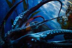 Octopus. In an oceanarium of Bangkok, Thailand royalty free stock photos