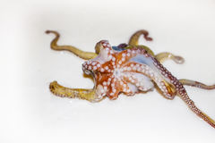 Octopus, octopod, polyp Stock Image