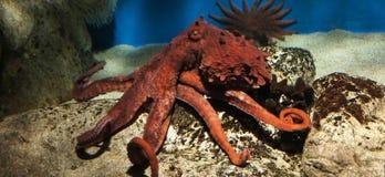 Octopus onderwater Royalty-vrije Stock Afbeelding