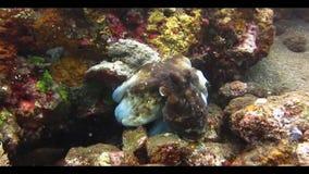 Octopus Onderwater stock footage