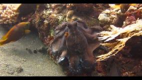 Octopus Onderwater, het zwemmen stock video