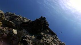 Octopus onderwater Rode overzees stock video