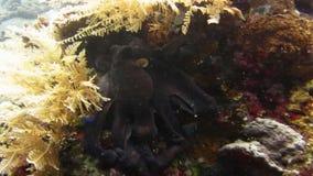 Octopus Onderwaterbali stock video