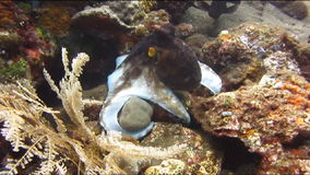 Octopus Onderwaterbali stock videobeelden
