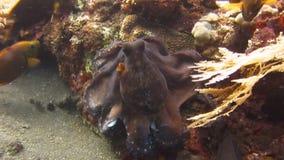 Octopus Onderwaterbali stock footage