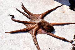 Octopus op de boot Royalty-vrije Stock Foto