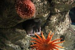 Octopus op de rotsen Royalty-vrije Stock Afbeelding