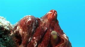 Octopus op een blauwe onderwater Rode overzees als achtergrond stock videobeelden