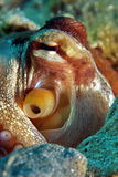 Octopus vulgaris underwater Stock Images