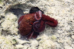 Octopus red Stock Image