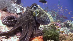 Octopus on the reef looking for your favorite. stock footage