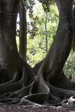 Octopus Roots. Moreton Bay Fig with incredible octopus roots stock photo