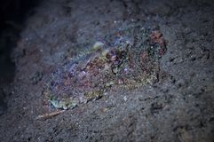 Octopus on the sea floor. A two spot octopus trying to camofluge itself on a rock Stock Image