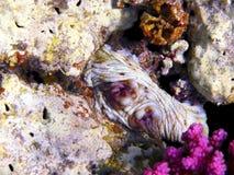 Octopus - slechts ogen Stock Afbeeldingen