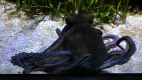 Octopus swimming in an aquarium. Very anxiously showing its arms and suction cups stock video footage