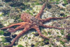 Octopus swimming underwater on a low seabed.  royalty free stock photography