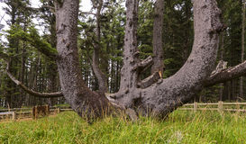 Octopus Tree in Cape Meares State Park, OR. Royalty Free Stock Photos