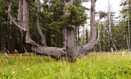 Octopus Tree in Cape Meares State Park, OR. Stock Photography