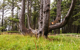 Octopus Tree in Cape Meares State Park, OR. stock images