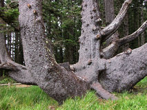 Octopus Tree. The Octopus Tree is a giant Sitka Spruce located near Oregon's Cape Meares Lighthouse. According to oral history its contorted growth was trained stock image
