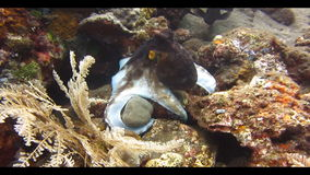 Octopus Underwater. Octopus swimming among corals on the seabed. Video captured in the wild stock video footage