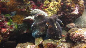 Octopus Underwater Bali. Octopus swimming among corals on the seabed. Video captured in the wild stock video