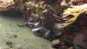 Octopus Underwater Bali. Octopus swimming among corals on the seabed. Video captured in the wild stock footage