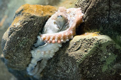 Octopus underwater close up portrait while hunting Royalty Free Stock Photo