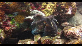 Octopus Underwater. Octopus swimming among corals on the seabed. Video captured in the wild stock footage