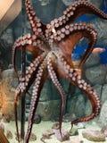 Octopus. View of octopus with aquarium background at Monterey Bay Aquarium, California stock image