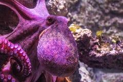 Octopus vulgaris comune che fissa alla macchina fotografica fotografia stock libera da diritti