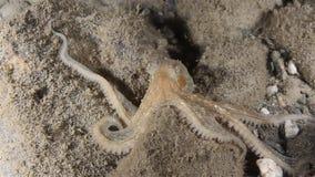 Octopus stock video footage