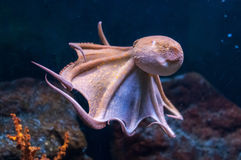Octopus in water Royalty Free Stock Image