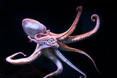 Octopus in water. Black background stock photo