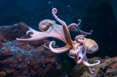 Octopus in water (lat. Octōpoda) stock image