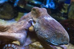 Octopus in water royalty free stock photos