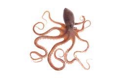 Octopus. An octopus, white background, close-up royalty free stock image