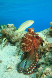Octopus and Wrasse Stock Images