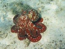 Octopuse. Rarotonga underwater. Octopus. Snorkling in Rarotonga. Cook Islands, Oceania. South Pacific Royalty Free Stock Image