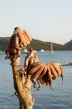 Octopuses hanging by sea Stock Photography